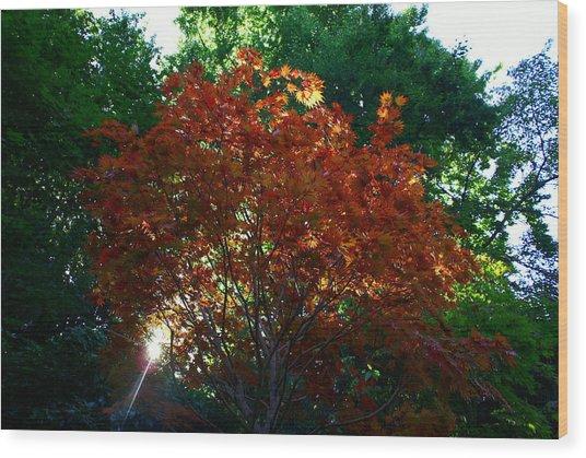 Sunlit Maple Wood Print
