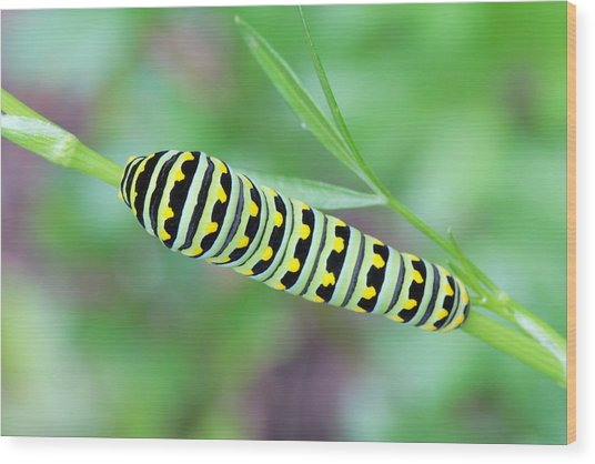 Swallowtail Caterpillar On Parsley Wood Print