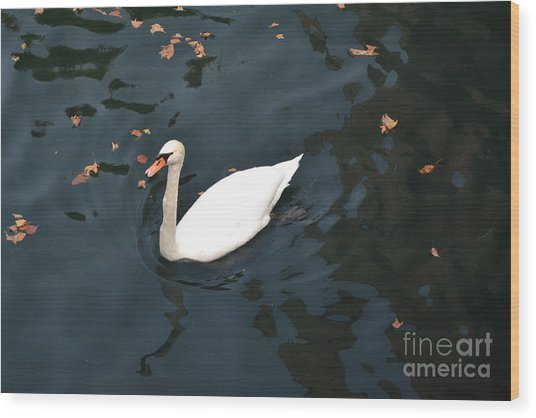 Swan In Autumn Wood Print