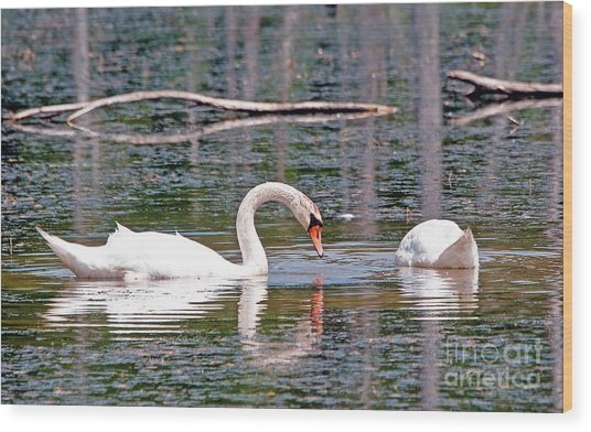 Swans At Lunch Wood Print by Bob Niederriter