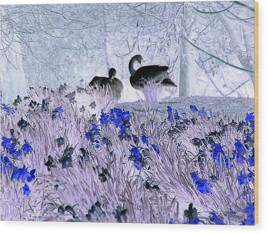 Swans In The Blue Wood Print by Fred Whalley