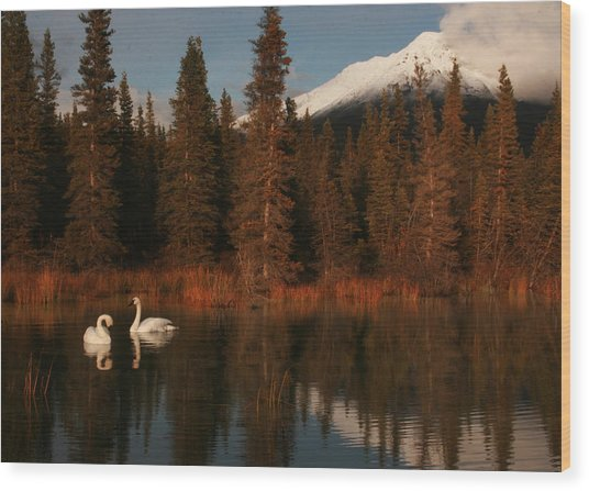Swans Wrangell St. Elias National Park And Preserve Wood Print