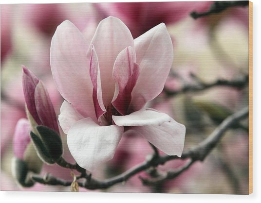 Sweet Magnolia Wood Print