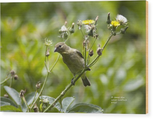 Take A Look - Lesser Goldfinch Wood Print