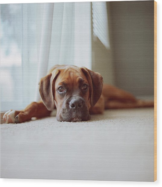 Tan Boxer Puppy Laying On Carpet Near Window Wood Print