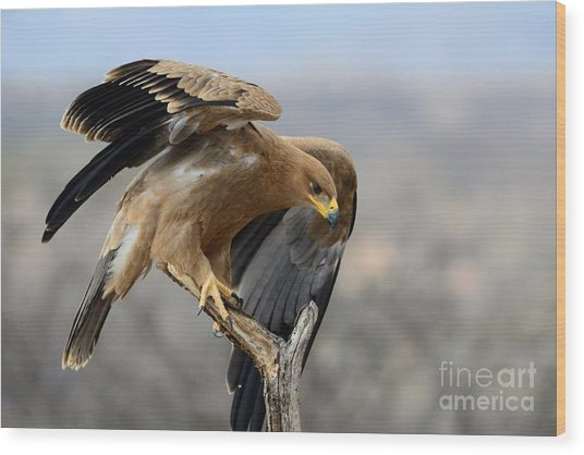Tawny Eagle Wood Print by Alan Clifford