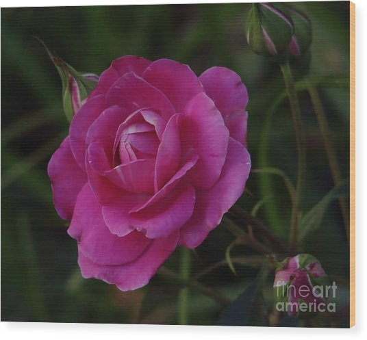 Tea Rose Wood Print
