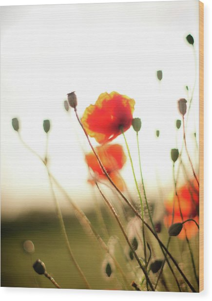 The Last Poppies Of Summer 1 Wood Print