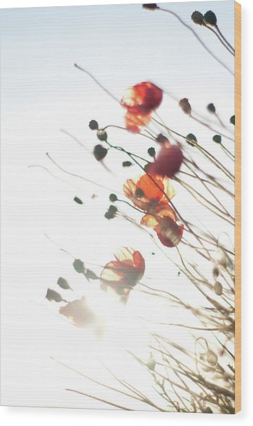 The Last Poppies Of Summer 4 Wood Print
