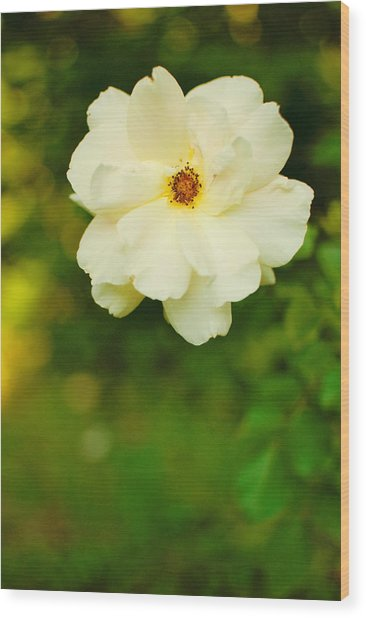 The Last Rose Wood Print by Robin Morse