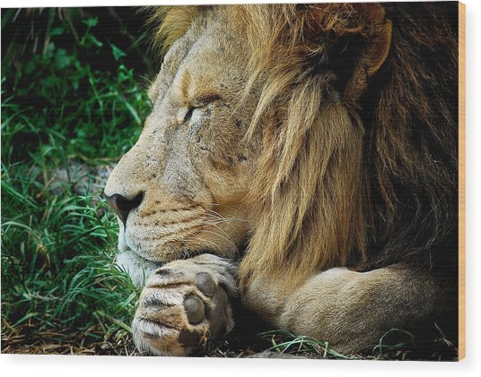 The Lions Sleeps Wood Print