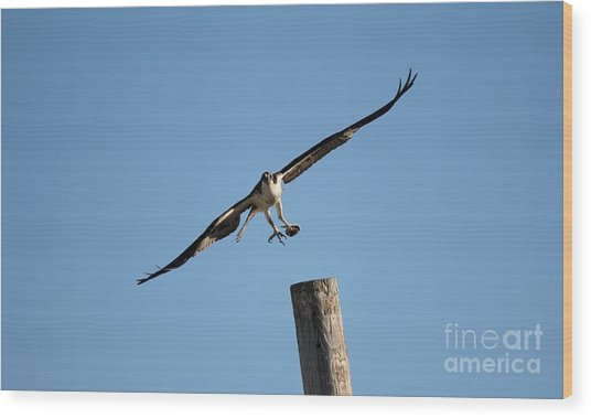 The Osprey's First Catch Collection Image I Wood Print by Scenesational Photos