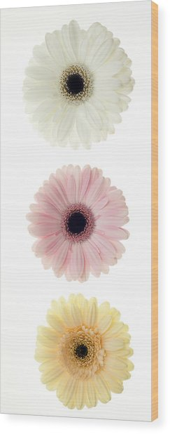 Three Gerber Daisies Wood Print by Brad Rickerby