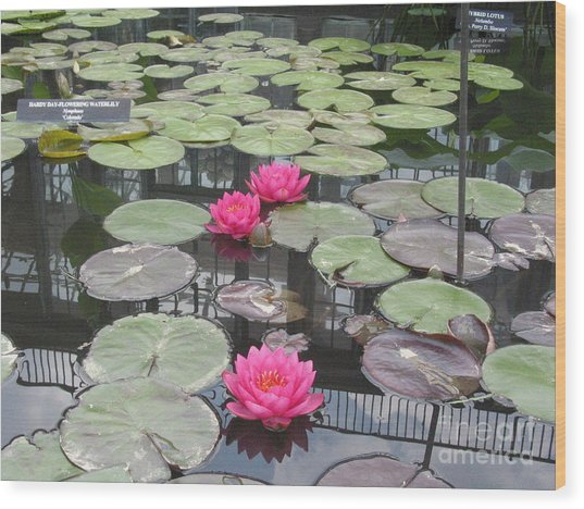Three Pink Water Lilies Wood Print by Portia Petty