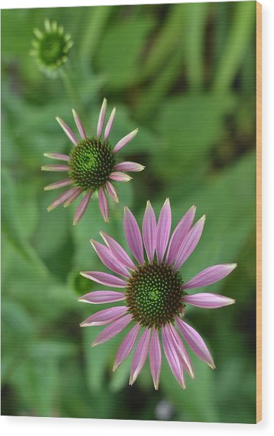 Three Stages Of A Coneflower Wood Print
