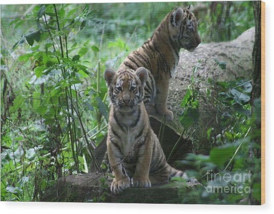 Tiger Cubs Wood Print by Carol Wright