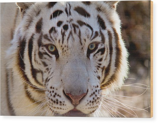 Tiger Stripes Exotic Animal Sanctuary 8 Wood Print