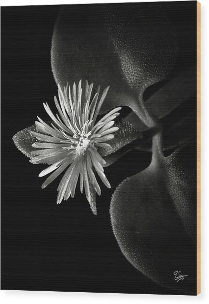 Tiny Ice Plant In Black And White Wood Print