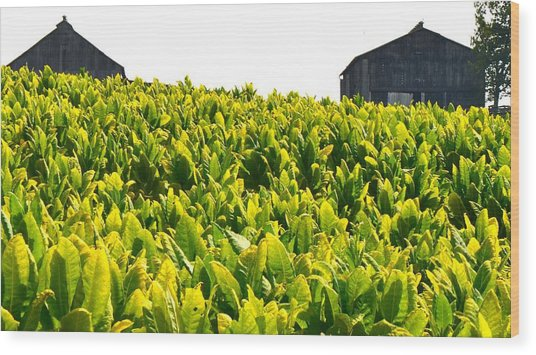 Tobacco Farm Wood Print by Mark Bowmer