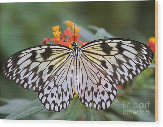 Tree Nymph Butterfly Wood Print by Jacky Parker