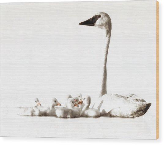Trumpeter Swans Wood Print