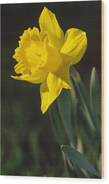 Trumpeting Daffodil Wood Print