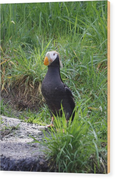 Tufted Puffin - 0026 Wood Print