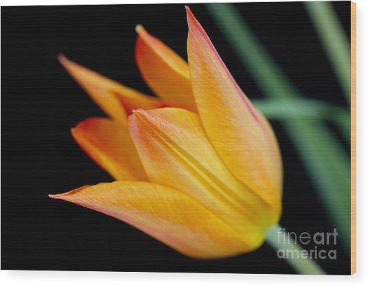 Tulip -2 Wood Print