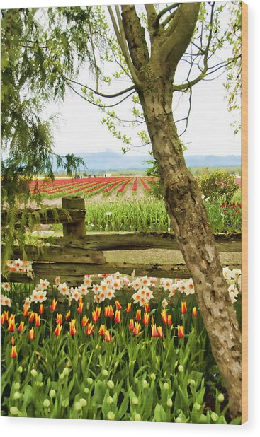 Tulip Time In The Skagit Valley Wood Print by Beverly Hanson