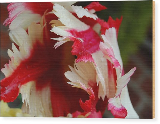 Tulips - Red And White Wood Print by Dickon Thompson