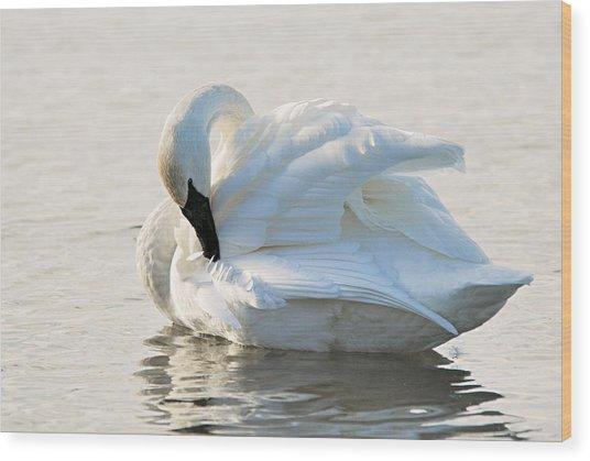 Tumpeter Swan Wood Print