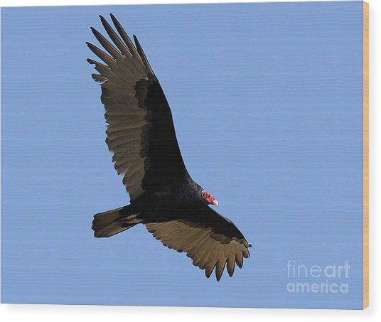 Turkey Vulture Wood Print by Marc Bittan