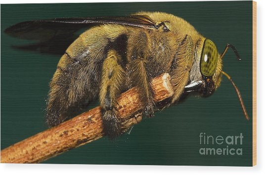 Unknown Wild Bee Wood Print