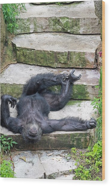 Up Close Lazy Chimp Wood Print by Lori Johnson