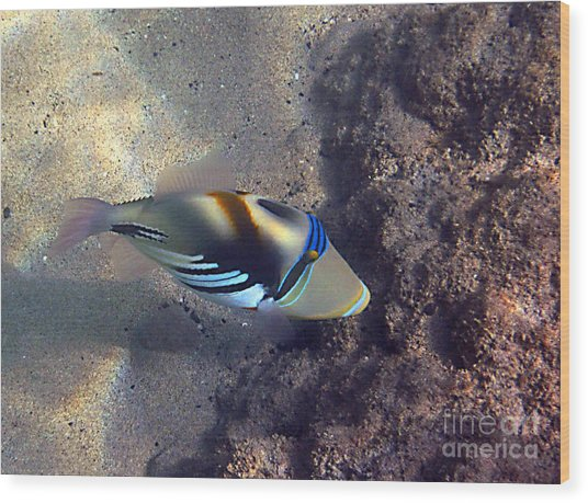 Upclose With A Lagoon Triggerfish Wood Print