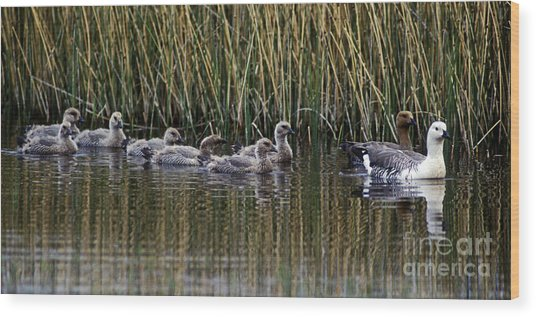 Upland Geese - Patagonia Wood Print by Craig Lovell