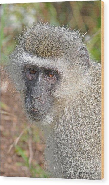 Vervet Monkey Wood Print by Jonathan Whichard