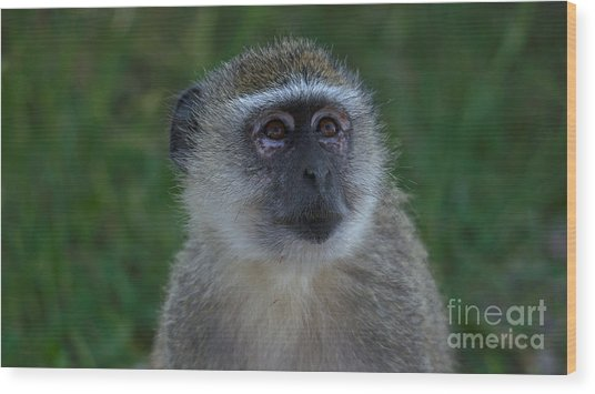 Vervet Monkey Looking Up Wood Print