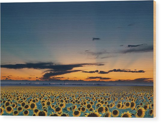 Vibrant Sunflower Field In Colorado Wood Print by Victoria Chen