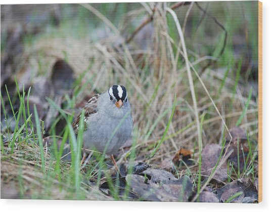 Watchful White Crowned Sparrow Wood Print