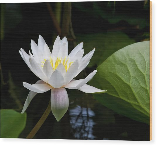 Water Lily In Morning Sun Wood Print