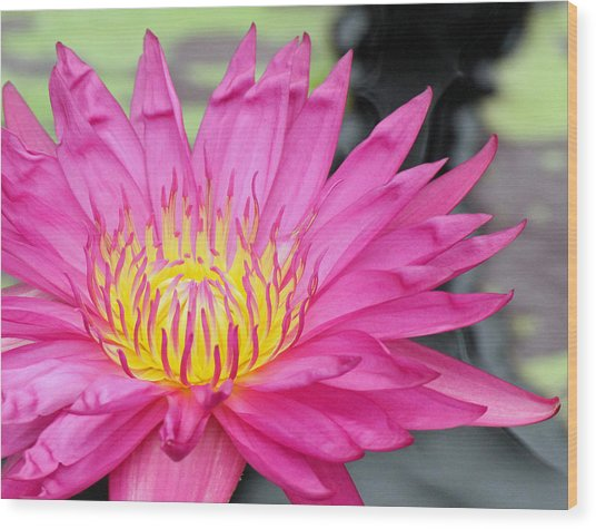 Water Lily In Pink Wood Print by Becky Lodes