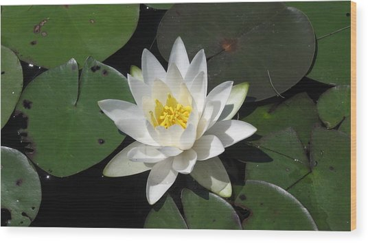Water Lily Wood Print by Waldemar Okon
