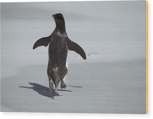 Western Rockhopper Penguin Wood Print by Charlotte Main