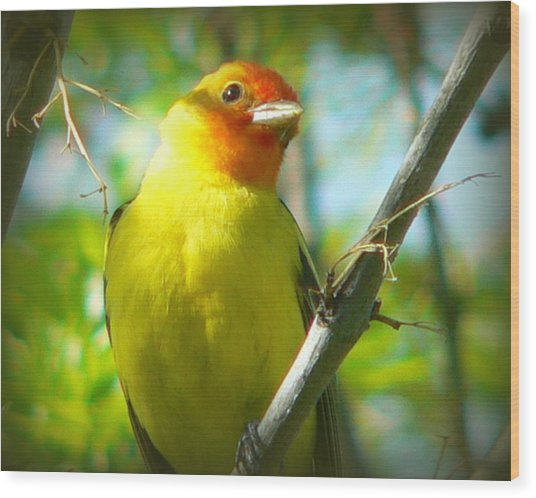 Western Tanager Wood Print by Carol Norman