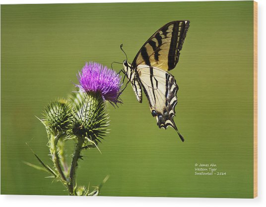 Western Tiger Swallowtail - Milkweed Thistle 2564 Wood Print