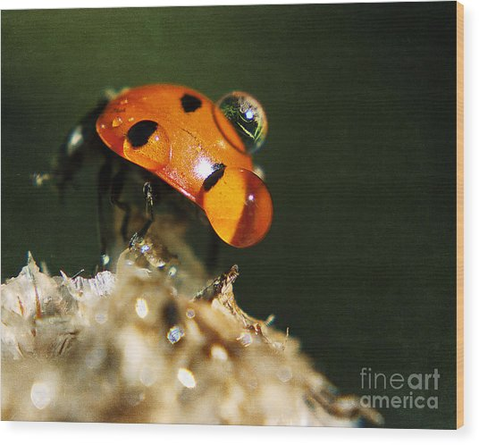 Wet Lady Bug Wood Print