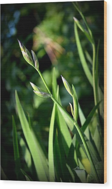 Where The Green Grass Grows.. Wood Print by Rachel Nuest