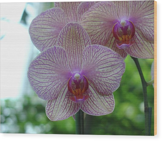 White And Pink Orchid Wood Print