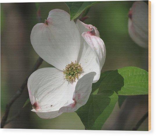 White Dogwood Tree Bloom Wood Print